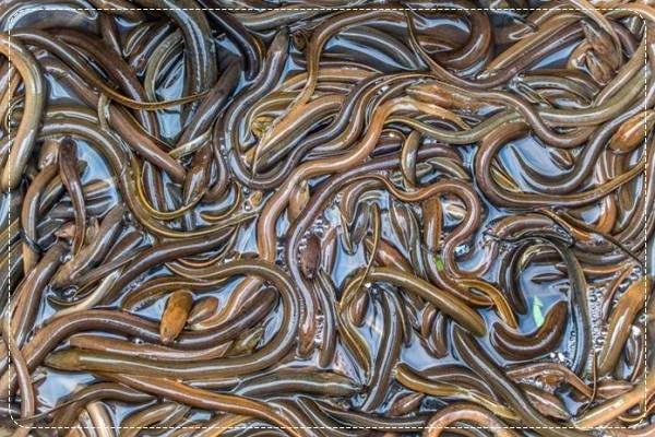 Supplier Jual Ikan Belut Bandung