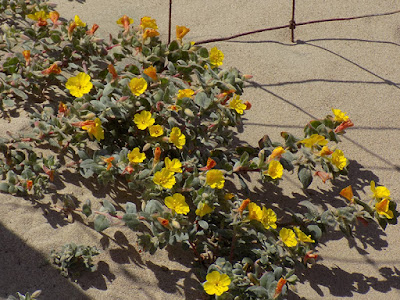 Camissonia Californica Is A Species Of Flowering Plant In The Evening  Primrose Family Known By The Common Name California Suncup.
