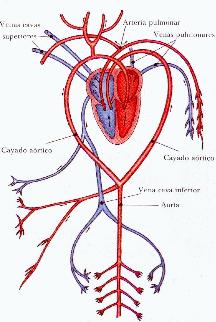 Circulatorio función propósito sistema y del