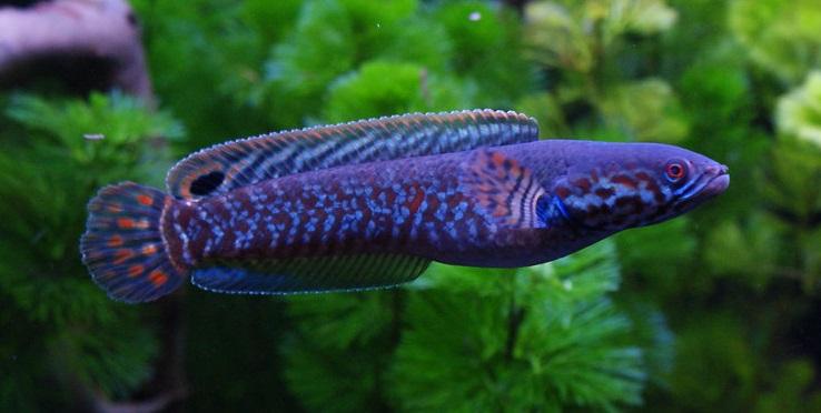 Channa Bleheri - 50 Jenis Ikan Channa Beserta Harganya