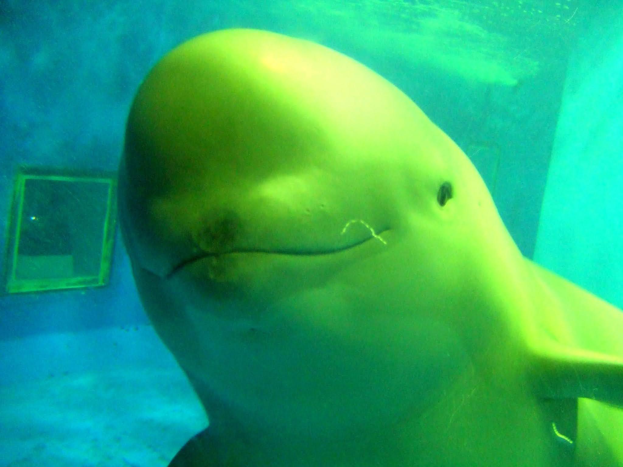 真正面を向いて微笑む水族館のスナメリの写真素材です。