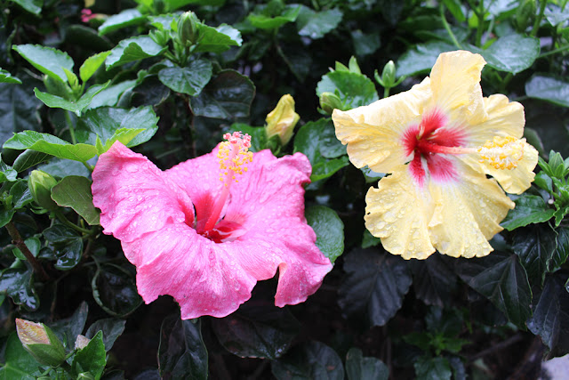 Hibiscus in Hanoi, Vietnam - lifestyle & travel blog