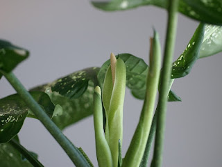 Dieffenbachia sp. - Dieffenbachie - Canne des muets - Plante des sourds-muets