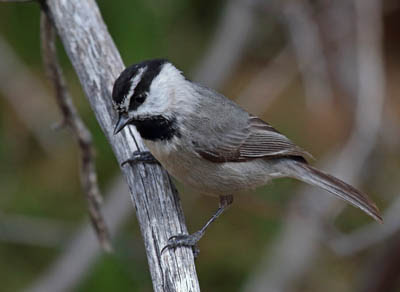 Photo of Mountain Chickadee on branch