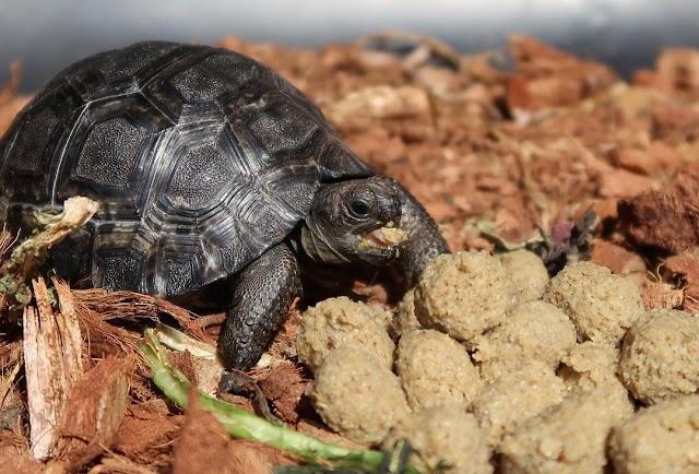 Thức ăn viên dành cho rùa cạn