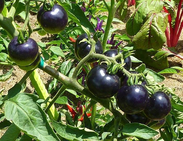 Tomates | Tomatoes