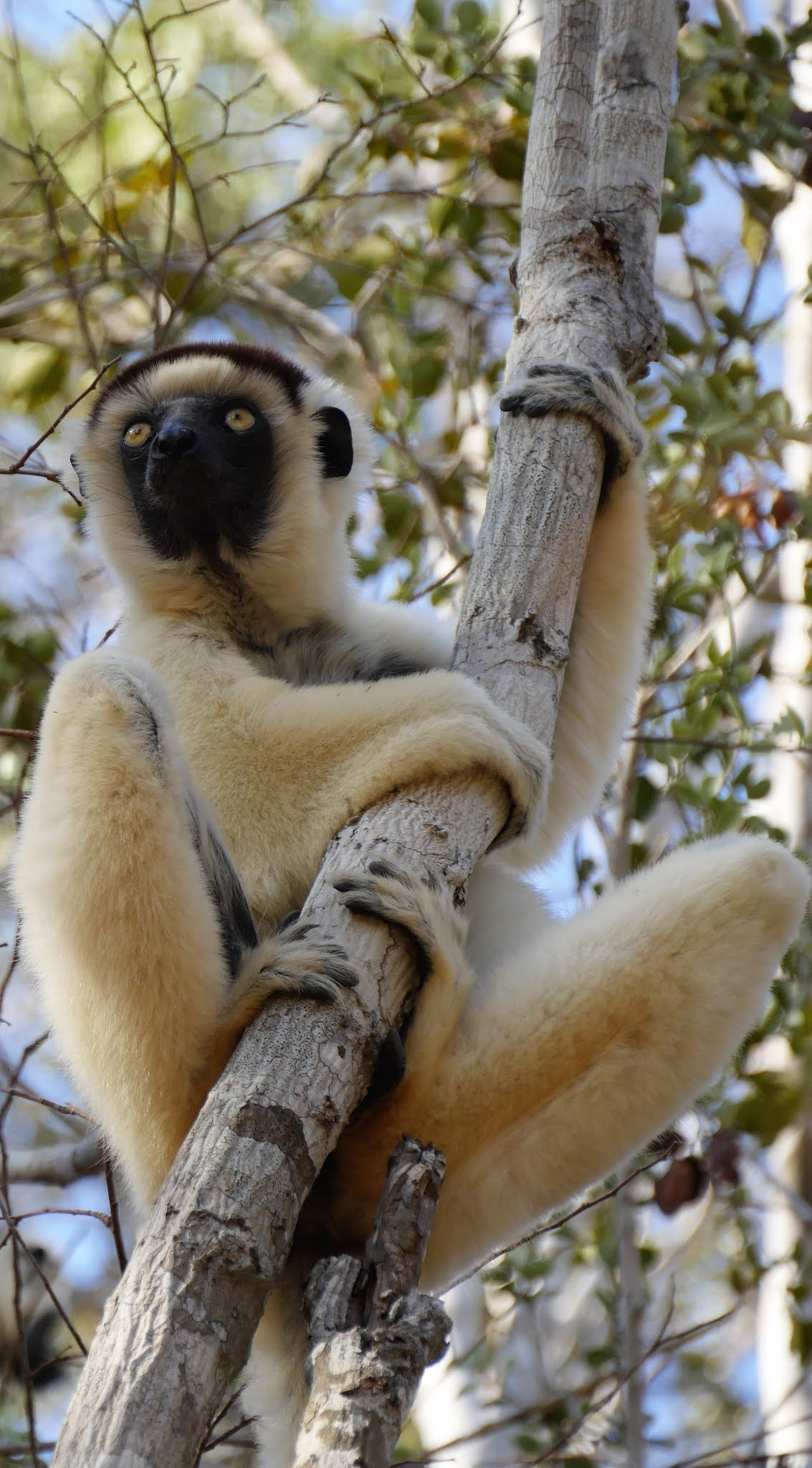 Lemur on a tree branch.