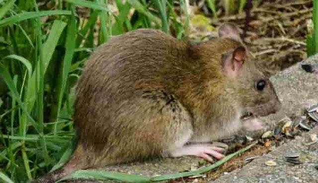 Cara Mengusir dan Membasmi Tikus di Sawah