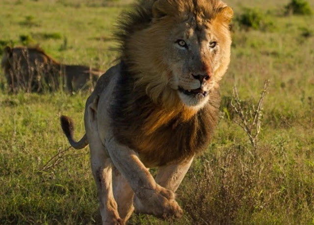 Nigerians warned as lion escapes from Kano Zoo