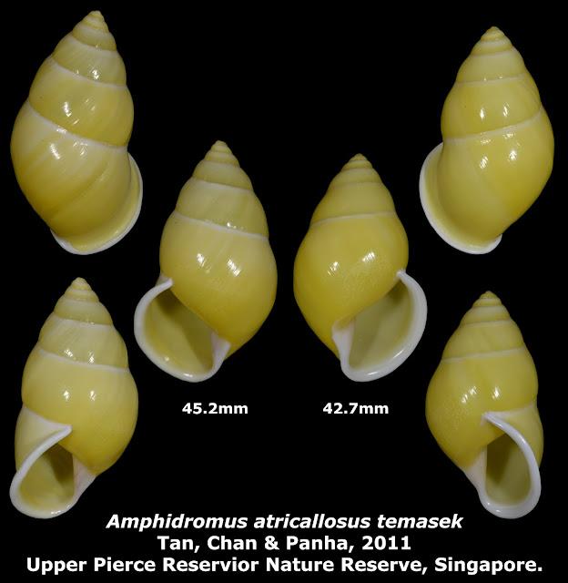 Amphidromus atricallosus temasek 42.7 & 45.2mm