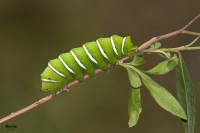oruga de Mariposa de las chilcas (Rothschildia jacobeae)