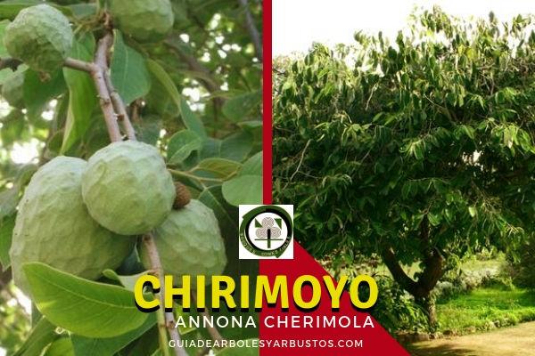Árbol del Chirimoyo ( Annona cherimola), es una Annonaceae de la misma familia que la Guanábana