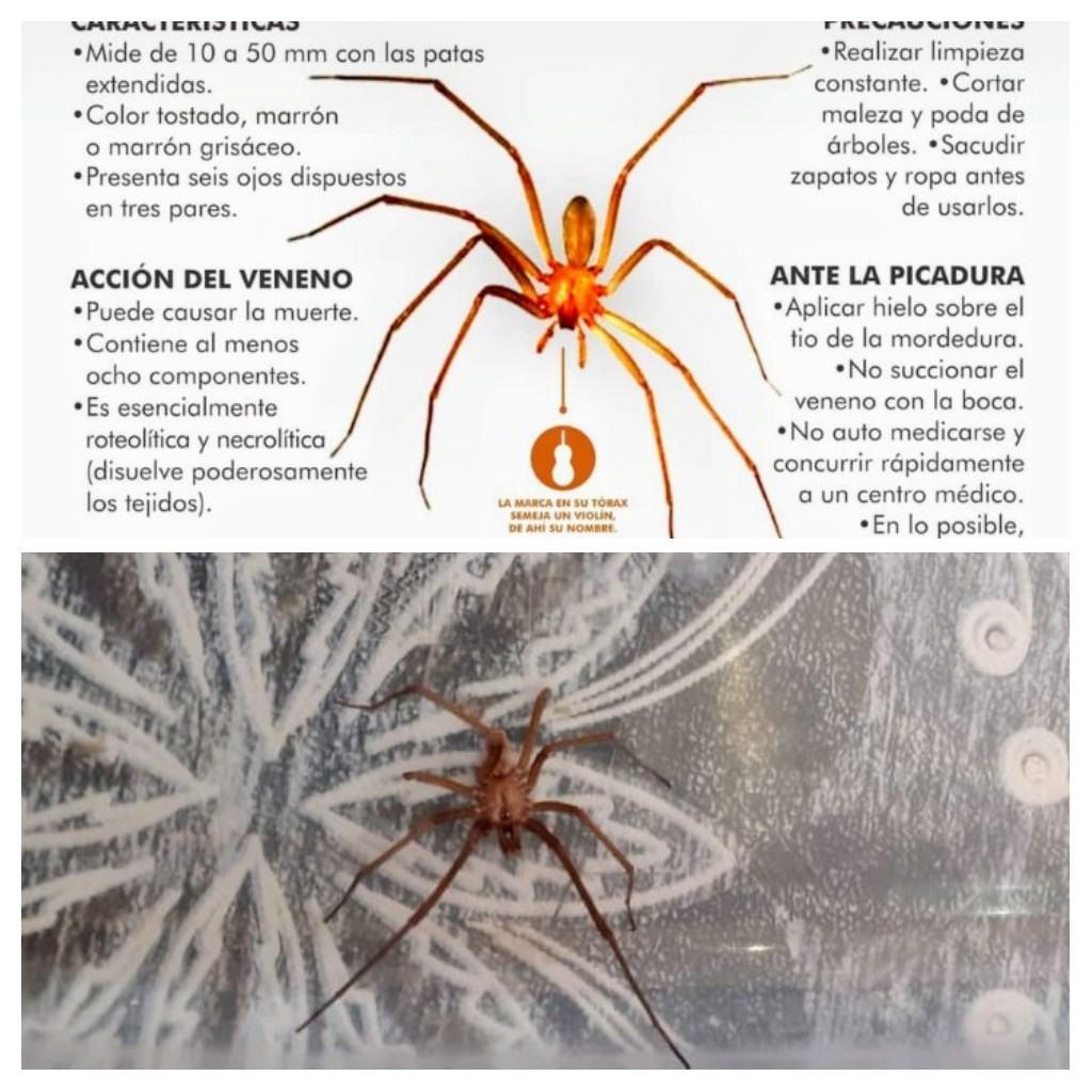 Antes La Vecina chacabuquero, desde chacabuco: vecina atrapó a una araña del