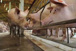 Governo adota medidas para prevenir entrada da peste suína clássica em Sergipe