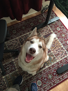 husky looking up at camera and smiling