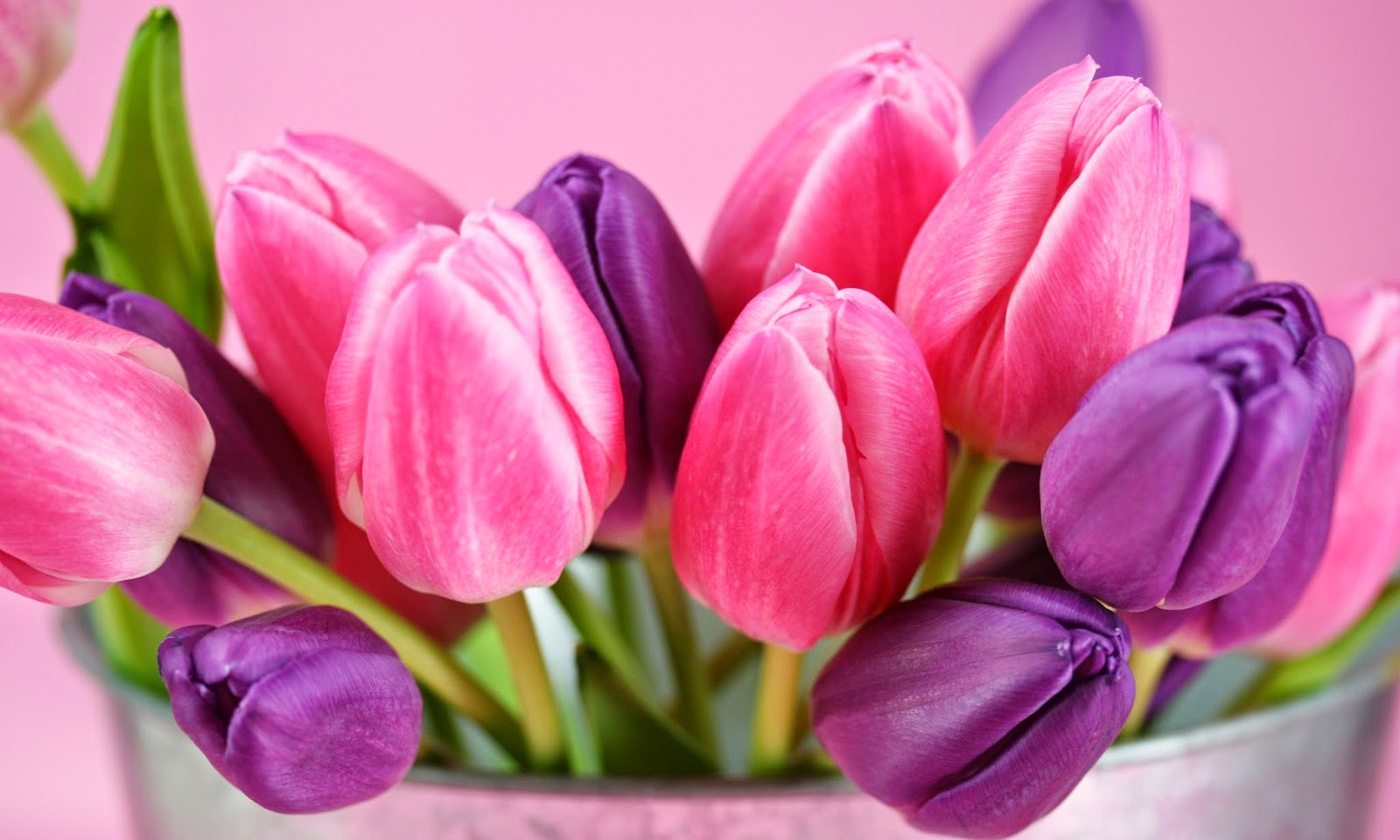 Tulips HD Wallpapers Free Download