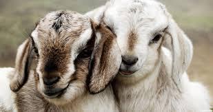 harga kambing jawa terbaru