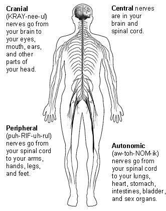 Interesting Fact about Human Body.: Central Nervous System: