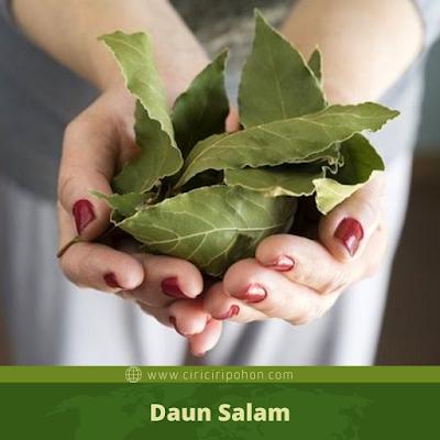 Daun Salam