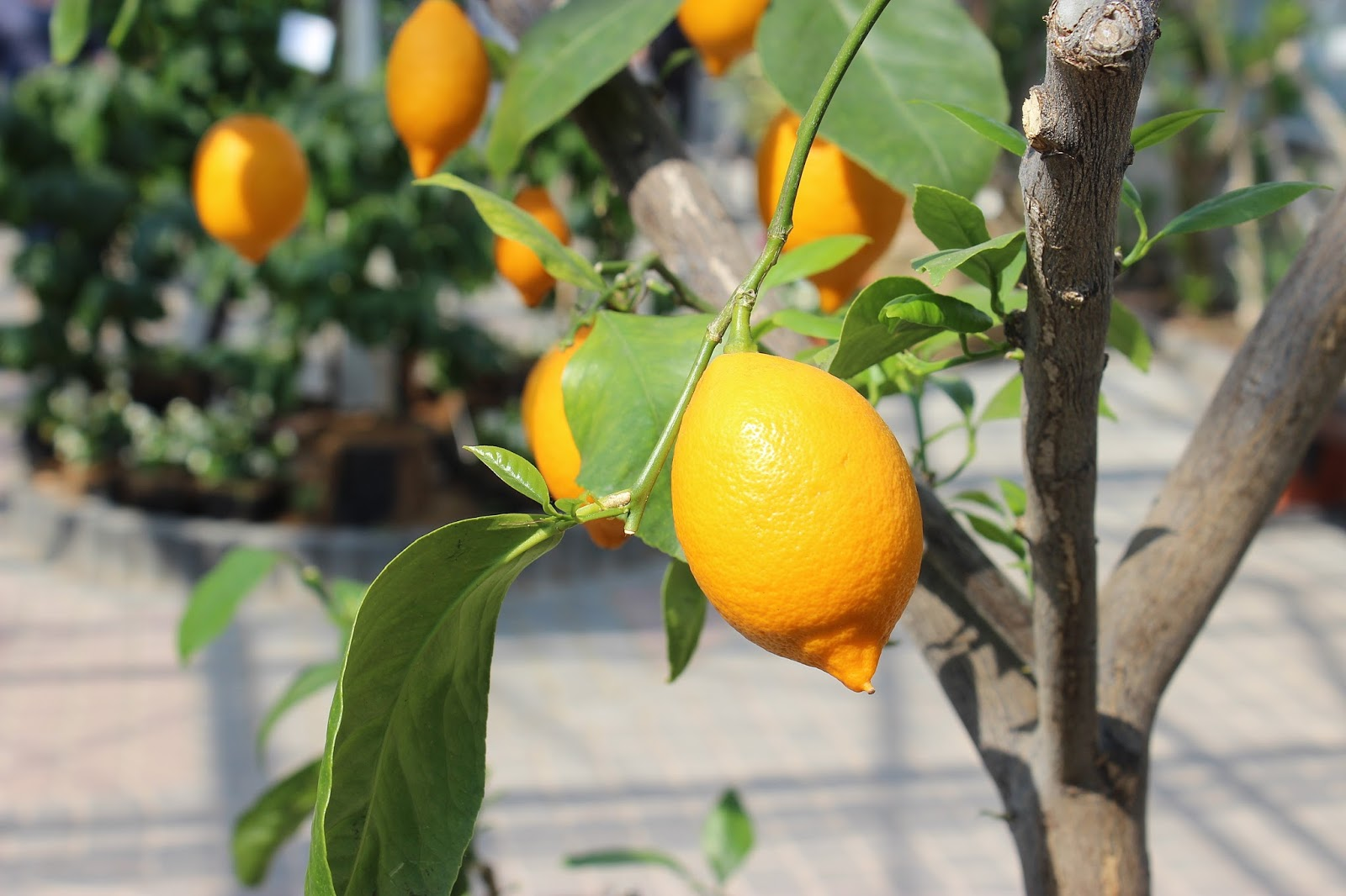 12 dobroci od cytryny dla zdrowia i urody