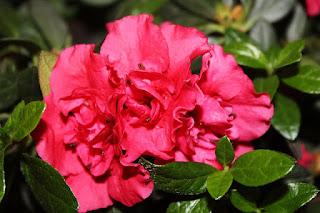 bunga azalea berasal dari negara