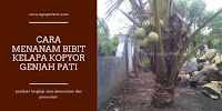 Cara Menanam Pohon Kelapa Kopyor Genjah Pati