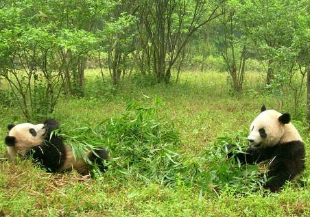Osos panda comiendo bambú
