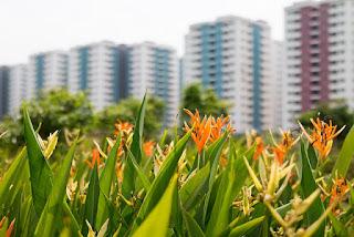 tanaman pohon pisang hias Heliconia