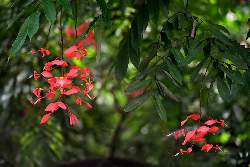 Flowers of Pride of Burma (Amherstia nobilis) at SPH Walk of Giants.