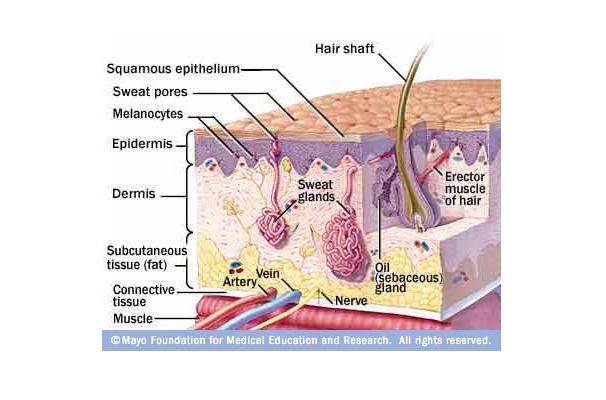 Anatomi kulit manusia