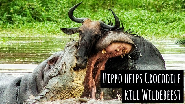 Watch in a rare encounter a hippo helps crocodile take down a wildebeest via geniushowto.blogspot.com wildlife encounter videos