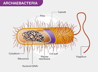 Struktur Archaebacteria