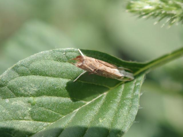 Parapediasia teterrellus