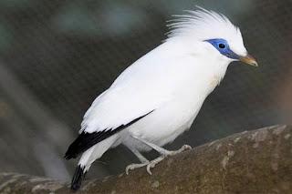 Harga Burung Jalak Bali