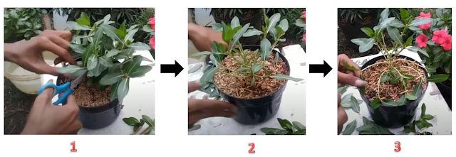 Cara Membuat Bunga Vinca Rimbun Serta Merawatnya