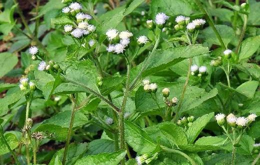 Ternyata tumbuhan bandotan memiliki khasiat dan manfaat daun bandotan sebagai tanaman obat yang kita kenal selama ini sebagai tanaman liar dianggap gulma