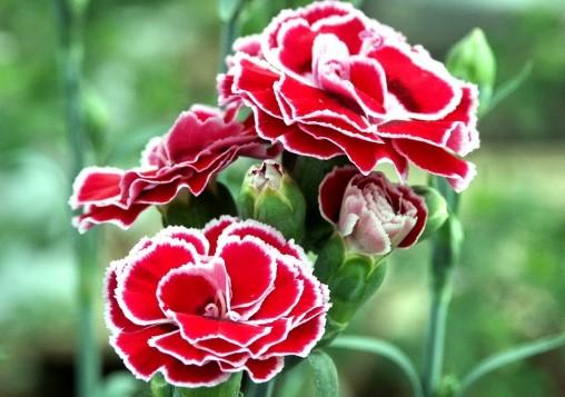 Bunga Anyelir Untuk Pengobatan Diare