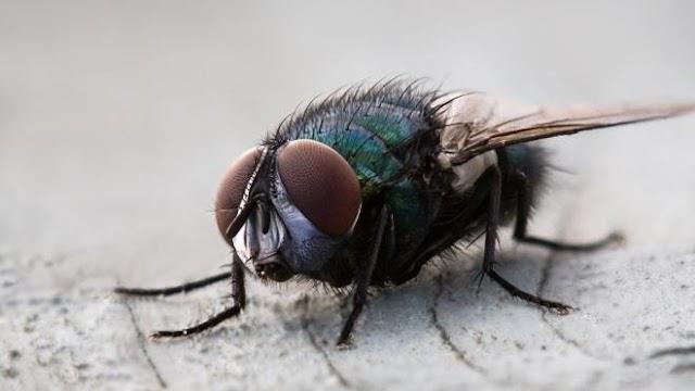 Las moscas mantienen el equilibrio ecológico de la Tierra