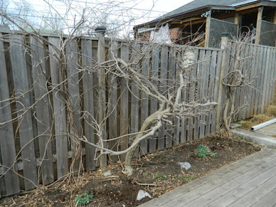 Birch Cliff Scarborough Backyard Spring Garden Cleanup After by Paul Jung Gardening Services a Toronto Gardening Company
