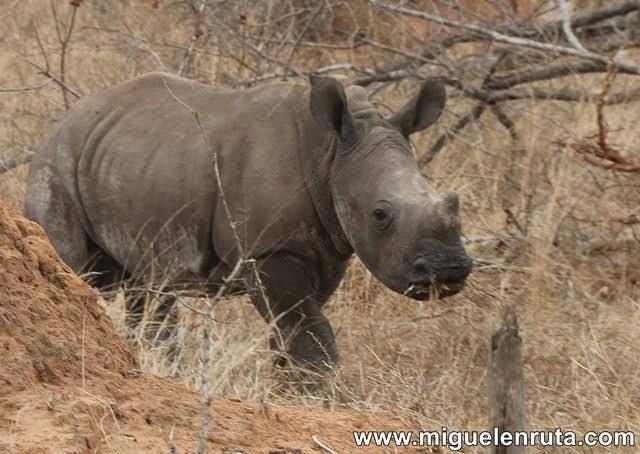 Cría-rinoceronte-Kruger