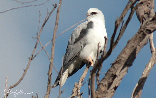 Black Shouldered Kite taking a good look at the photographers