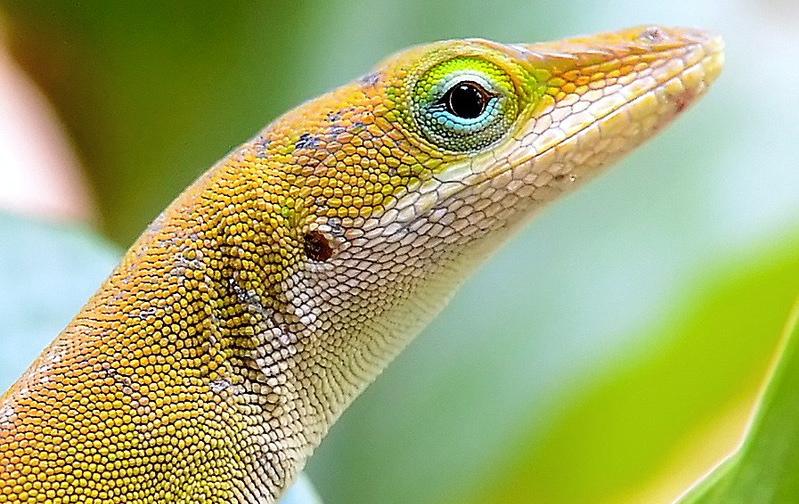 florida s adorable anole lizards phillip s natural world