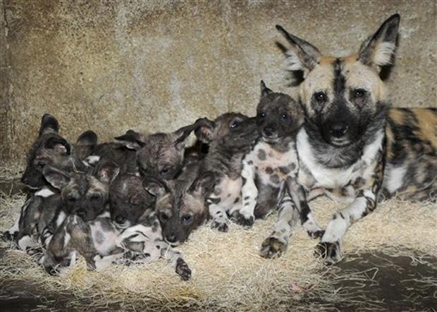 Resultado de imagem para O Mabeco e cão selvagem fotos