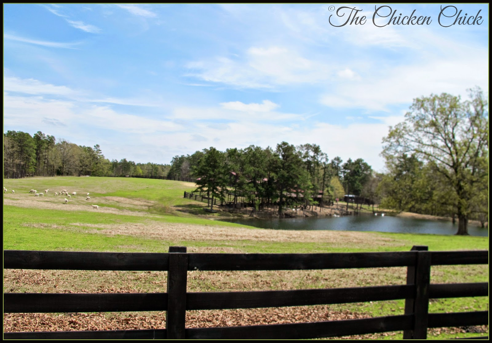 The sheep pasture next to the Waterfowl Mecca.