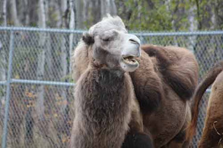 A Bactrian Camel At Assiniboine Park Zoo