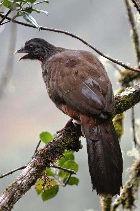 Pava de monte andina: Penelope montagnii