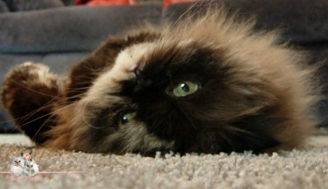Tortoiseshell Persian, Praline, laying on her back