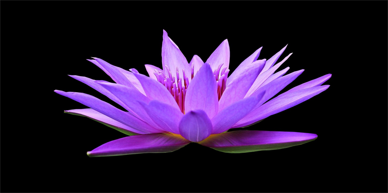 water-lily, flower photo