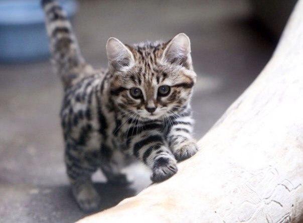 черноногий кот фото
