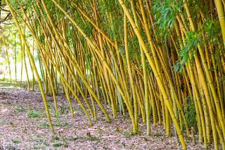 gambar bambu kuning garis hijau
